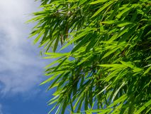Background texture green bamboo tree.  stock photography