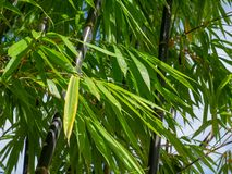 Background texture green bamboo tree.  royalty free stock image