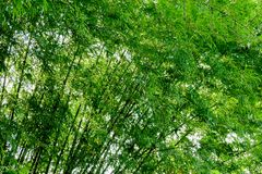 Background texture green bamboo tree.  stock images