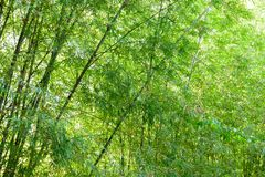Background texture green bamboo tree.  stock image