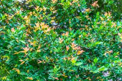 Green color leaves and orange color leaves. Background texture of green color leaves and orange color leaves stock images