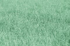 Background  texture of green grass  with color shade mint   with blurred and hazy effects Royalty Free Stock Image