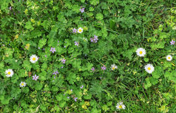 Background texture of green grass and white flowers Royalty Free Stock Image