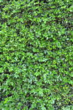 Background Texture Of A Green Hedge Royalty Free Stock Photography