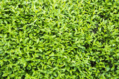 Background Texture Of A Green Hedge Royalty Free Stock Photo