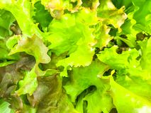 Background, texture of green lettuce leaves royalty free stock photos