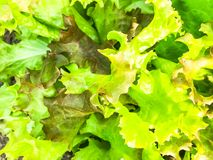 Background, texture of green lettuce leaves stock photography