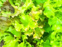 Background, texture of green lettuce leaves stock images