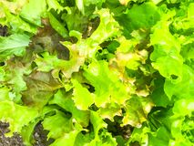 Background, texture of green lettuce leaves royalty free stock photo