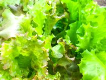 Background, texture of green lettuce leaves stock photo