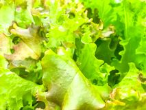 Background, texture of green lettuce leaves stock image