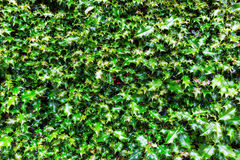 Background texture from holly leaves Stock Photos