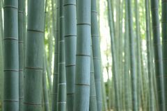 Background texture of Japanese Green Bamboo Forest. In horizontal frame Stock Photo