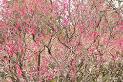Background texture of Japanese Pink Plum blossoms in sunshine Royalty Free Stock Photos