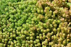 Background texture made of densely planted Sedum or Stonecrop hardy succulent ground cover perennial green plant with thick. Succulent leaves and fleshy stems stock images