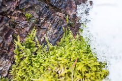 Background texture of the moss on the bark of a Royalty Free Stock Images