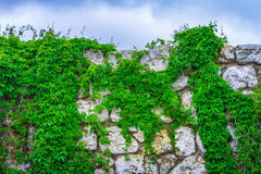 Background texture old stone wall plants sky. Background texture old stone wall covered with plants against the sky Stock Image