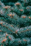 Background texture pine branches with young cones stock photo
