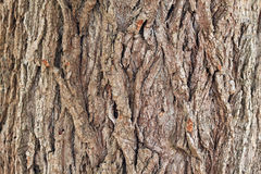 Background from texture of poplar bark. Close up. There are deep coarse cracks Stock Photography