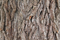 Background from texture of poplar bark. Close up. There are deep coarse cracks Royalty Free Stock Photos