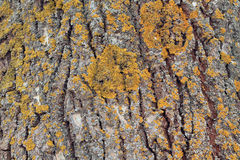Background from texture of poplar bark with lichen. Close up. There are deep coarse cracks and yellow lichen Stock Photo