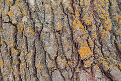Background from texture of poplar bark with lichen. Close up. There are deep coarse cracks and yellow lichen Stock Image