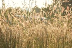 Silhouette wild grass flower blossom in the country side stock images