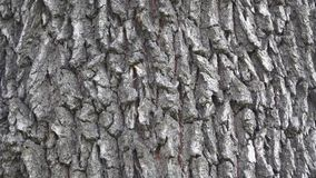 Background texture of tree bark. Skin the bark of a tree that traces cracking. stock video