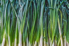 Background texture vegetables green onions. Background texture of green onions with water drops, on the counter of the market Stock Image
