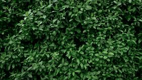 Background and texture of the wall of natural green small leaves. eco wallpaper stock photography