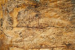 Background. the texture of the wood of the trunk of a tree eaten by beetles bark beetles. Pattern caused by bark beetles. The flaws of the old wood under the royalty free stock photo