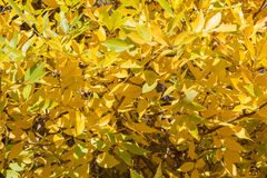 Background texture of yellow gold autumn leaves on a tree in the Stock Images