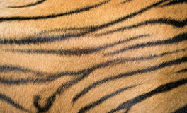 Background textured of bengal tiger fur Royalty Free Stock Photos