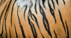 Background textured of bengal tiger fur Royalty Free Stock Image