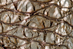 Background textured pattern of palm tree bark Stock Photo