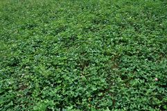 Background and textures of clover plants Royalty Free Stock Photos