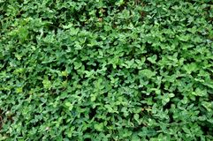Background and textures of clover plants Royalty Free Stock Images