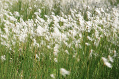 Background of thin green plant stems and white fluffy inflorescences.  Stock Photography