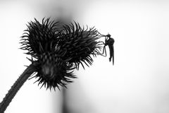 Background with thistle and insect in black and white. Insect ov Royalty Free Stock Photo
