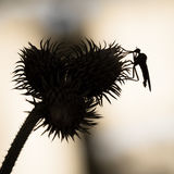 Background with thistle and insect in black and white. Insect ov Stock Photography
