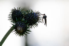Background with thistle and insect in black and white. Insect ov Royalty Free Stock Photography