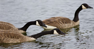 Background with three Canada geese swimming. In the lake royalty free stock photos
