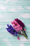 Background with  three fresh pink, violet  hyacinths on turquois Stock Photography