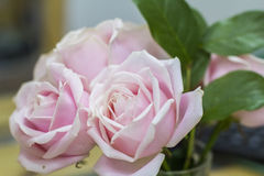 Background three pink and white roses in a bouquet of flower. Salons Royalty Free Stock Photography