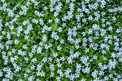Background of tiny blue flowers Royalty Free Stock Image