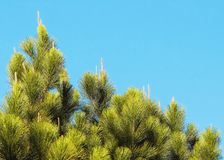 Background of the top of pine tree on a beautiful blue sky day.  Royalty Free Stock Photos