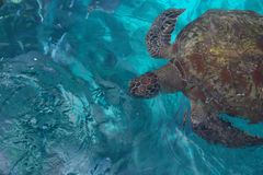 Big reptile turtle. Background of transparent turquoise sea water with a large sea turtle in soft focus stock images
