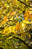Background tree in autumn. Autumn leaves on a tree Royalty Free Stock Images