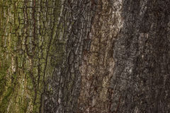 Background tree bark. The background image consists of a bark of a large tree covered with a thin coating of moss on one side and a color transition to a gray Stock Images