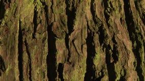 Background close up of tree bark. Background tree bark panning upwards stock video